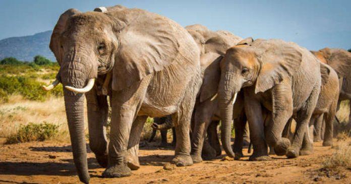 battues administratives des éléphants