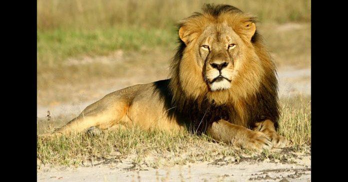 Parc national de Nairobi , une scène incroyable d'un lion en ville ce mardi